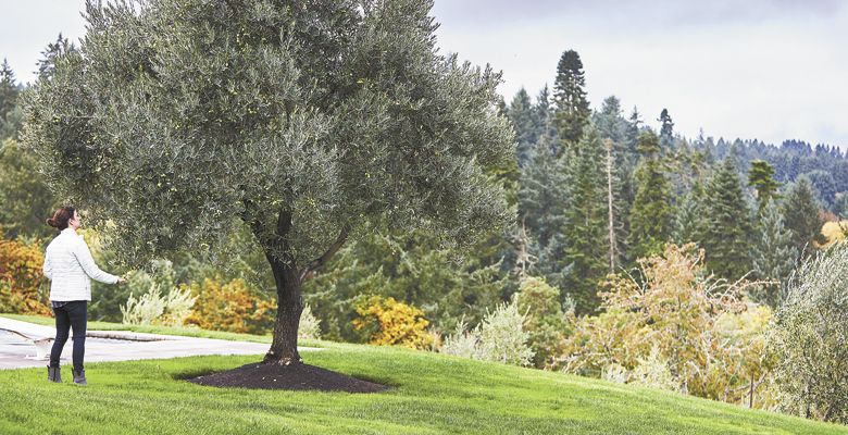 Is growing olive trees profitable?