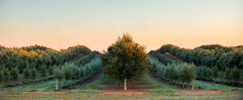 Where do olive trees grow best?